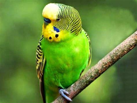 224 best images about burung cantik on pinterest love 39 best love bird images on pinterest budgies parakeets