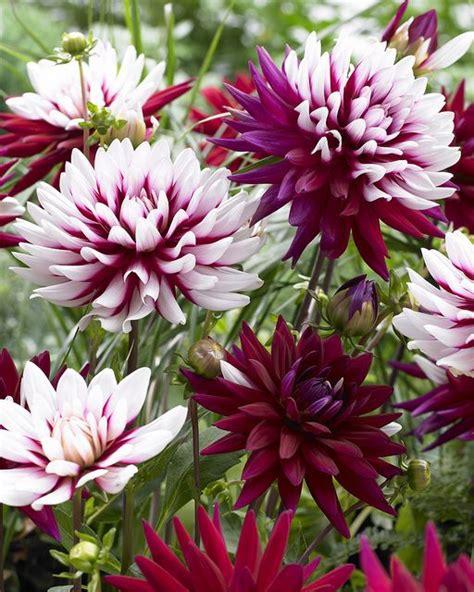 Dahlia Flower Garden Dahlie S World Dahlia Flowers And Gardens