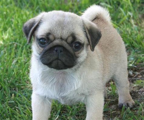 pug ouppy pug puppies rescue pictures information temperament characteristics animals