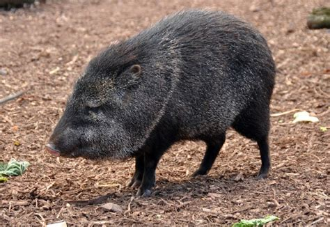 ecology conservation and management of pigs and peccaries books mammal id 3 at santa fe community college studyblue