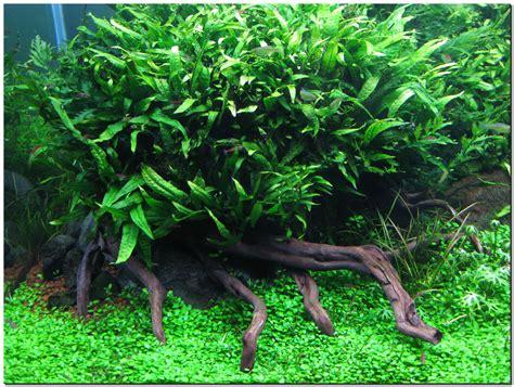 jenis tanaman aquascape  light aquascape indonesia