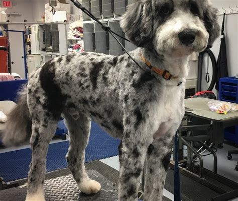bernese mountain poodle mix bernese mountain archives wags to riches grooming