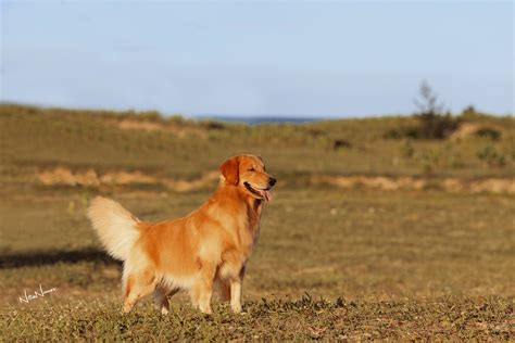 comprar golden retriever comprar golden retriever fortaleza dogs in our photo