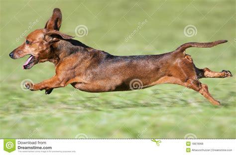 dachshund puppies utah dachshund running dogs in our photo