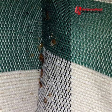 do bed bugs like heat bed bug pictures and videos what do bed bugs look like