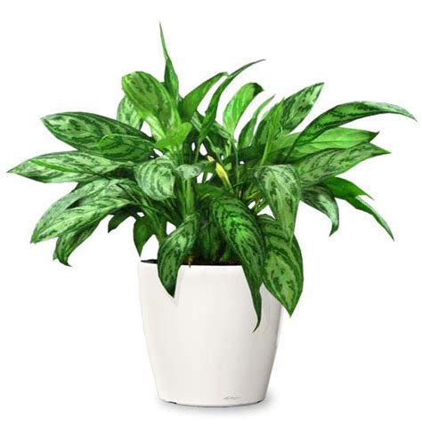 small plant ornamental plant chinese evergreen ornamental plant