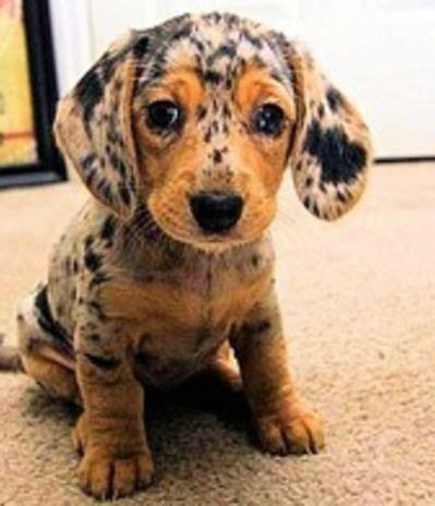 dapple puppies pin by rishelle on animals pets dapple dachshund and puppys