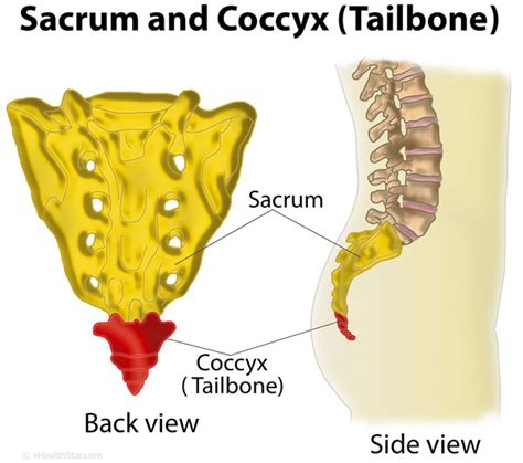 sacrum diagram what is coccyx tailbone definition anatomy function