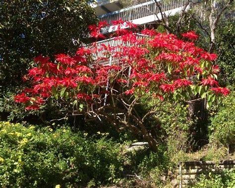 cura piante appartamento cura stella di natale piante appartamento come curare