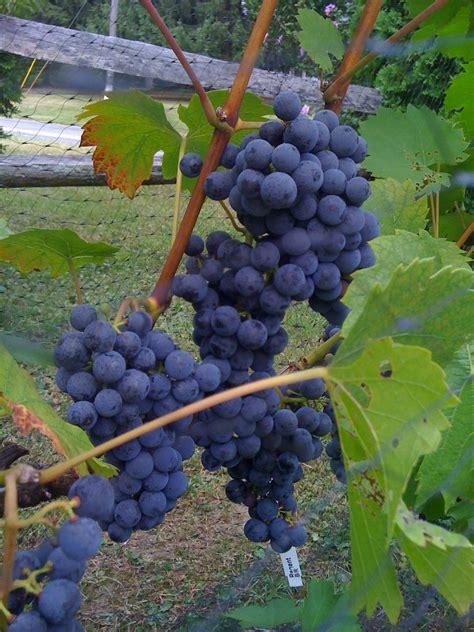 backyard winery backyard vineyard winery
