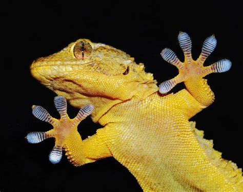 0007179898 the gecko s foot how scientists synthetic two sided gecko s foot could enable underwater