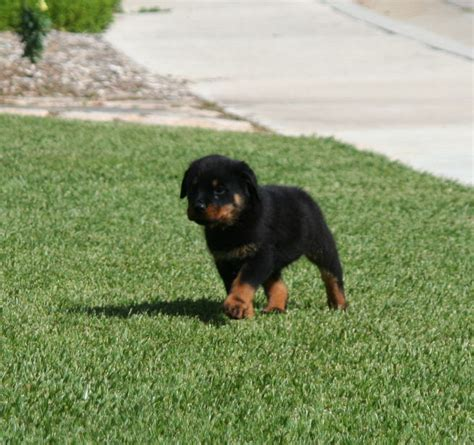 are there different types of rottweilers the true character of the rottweiler breeds picture