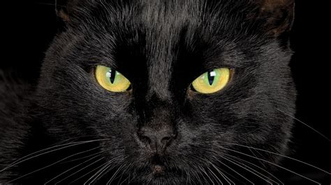 wallpaper yellow cat black cat with yellow eyes desktop wallpapers hd0