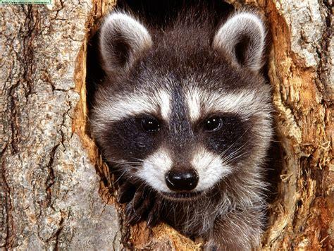 imagenes de animales de zacatecas mam 237 feros mexicanos en peligro de extinci 243 n francisco