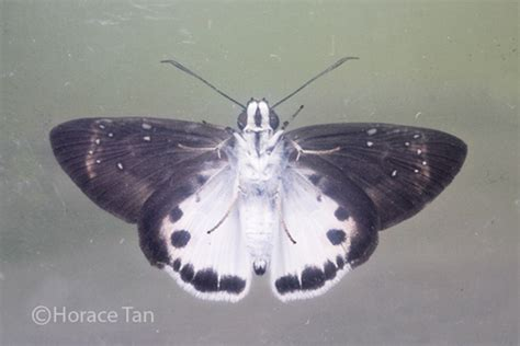 it was snowing butterflies butterflies of singapore life history of the malayan snow flat