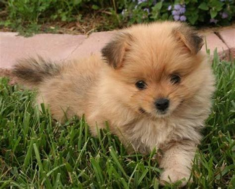 pomeranian mix zoe the yorkie pomeranian mix puppies daily puppy
