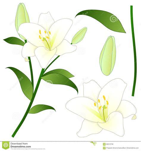 fiore giglio bianco lilium candidum il lilium candidum o il giglio bianco