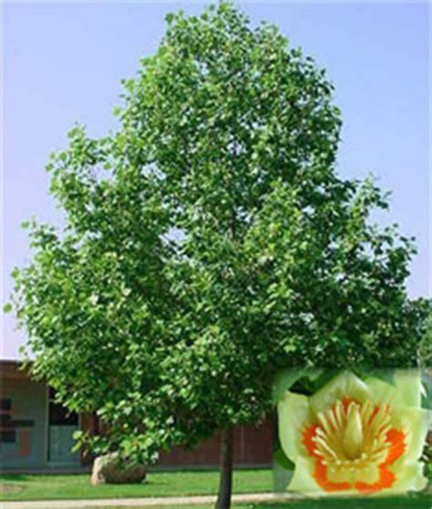 pin indiana state tree tulip poplar on pinterest indiana state tree tulip tree bing images hoosier