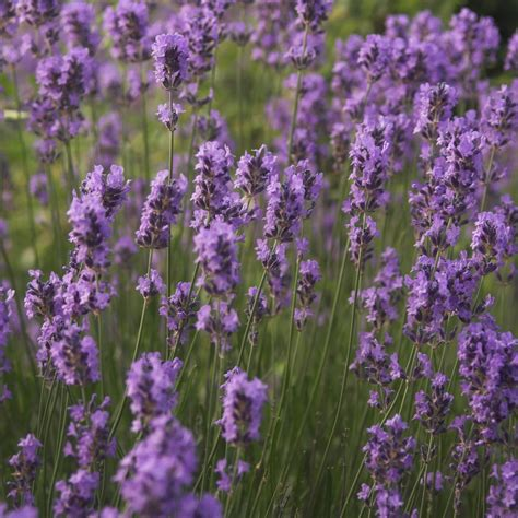 Fragrance Lavender lavender fragrance purple