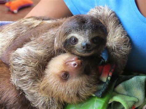 sloth hug www pixshark images galleries with