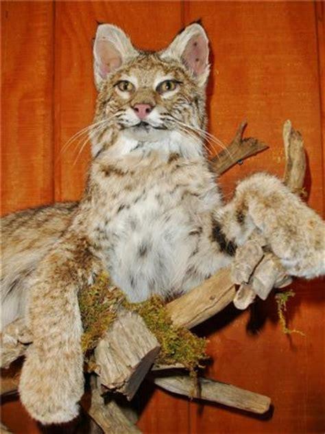 bobcat mount game changer taxidermy llc