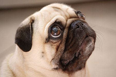 house a pug there are four looking at a pug at a breeder s house which is the only one of