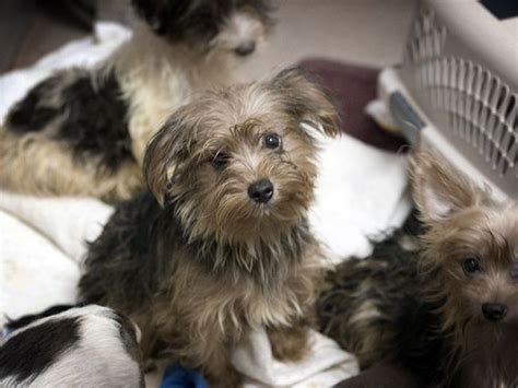yorkie hoarding poway 80 yorkies now available for adoption san diego humane society poway ca patch