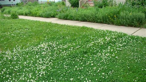 clover lawn and landscape micro clover lawn alternative
