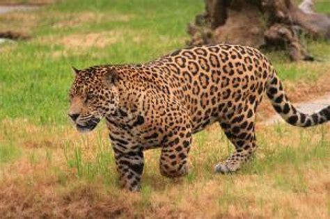 imagenes del jaguar panthera onca jaguar t 233 l 233 charger des photos gratuitement