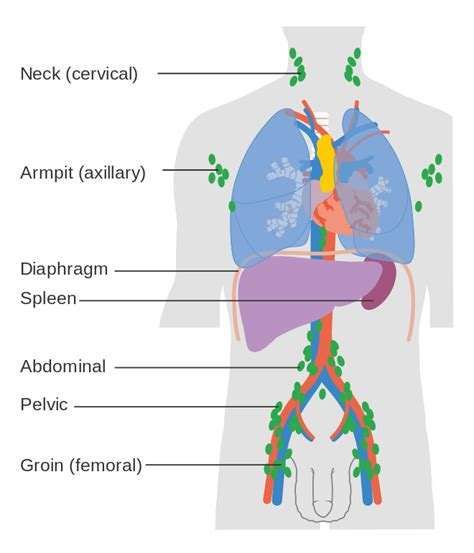 lymph nodes of the diagram file diagram showing the lymph nodes lymphoma most