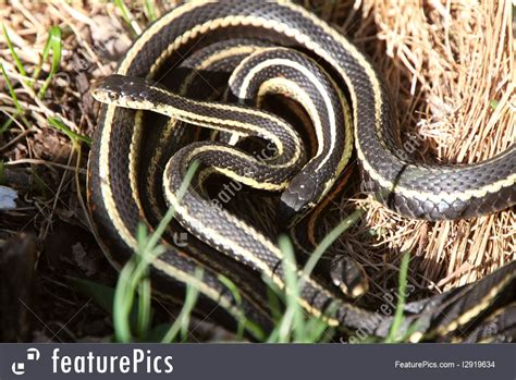 Garter Snake Mating Wildlife Garter Snakes Mating Stock Image I2919634 At
