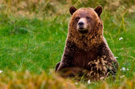 imagenes de animales fuertes image gallery oso grizzly