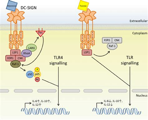 germline encoded pattern recognition receptors dc sign pathogen recognition determines downstream tlr