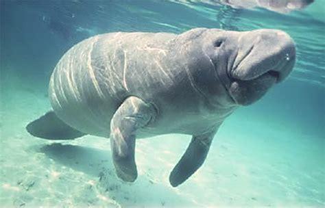 imagenes de animales lentos manati seekuh sirena trichechus manatus