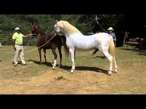potros cojiendo yeguas cruce de yegua criolla kalua y caballo cartujano