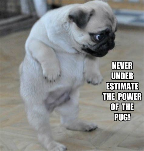 pug pun pug meme pun lol pugs pug meme to find out and puppys