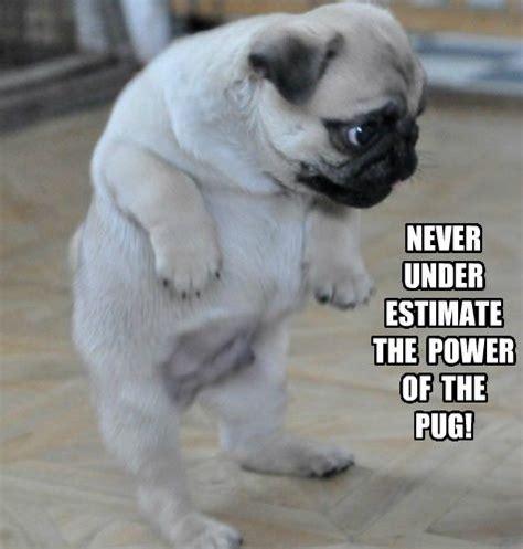 pug puns pug meme pun lol pugs pug meme to find out and puppys