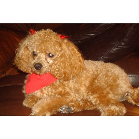 puppies for sale in gainesville fl puppies for sale poodle poodles f category in gainesville florida