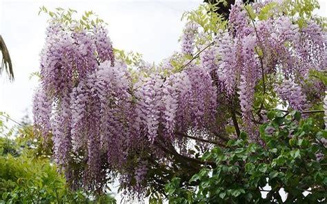pianta lilla in vaso glicine in vaso ricanti glicine pianta