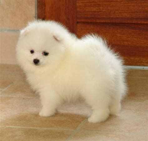 do pomeranian puppies shed pictures of dogs that do not shed breeds picture