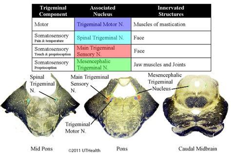 circulation motor sensory neuroanatomy lab 10 cranial nerve nuclei and
