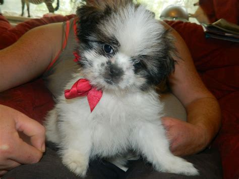 shih tzu puppies for sale in rochester ny shih pom puppies for sale breeds picture