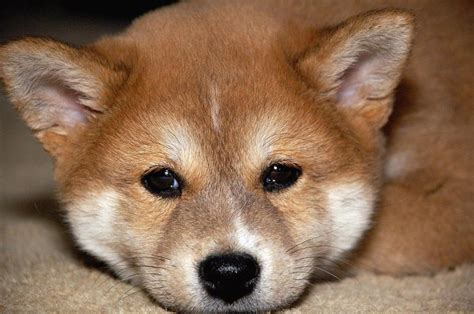 puppy shiba inu shiba inu puppy up jpg hi res 720p hd