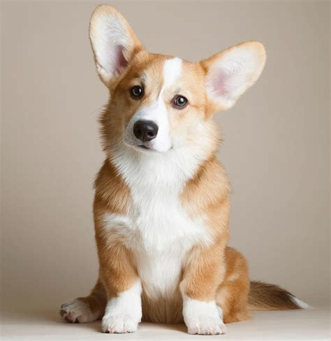 dogs 101 corgi 101 best corgi puppies meowlogy