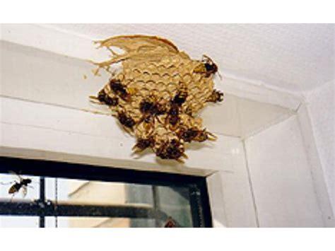 hornissennest im haus ich habe ein hornissennest was kann ich tun
