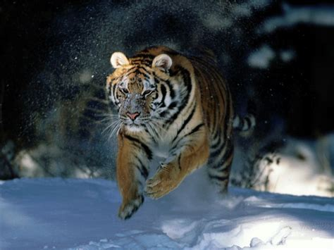 wallpaper cartoon tiger tiger siberian tiger wallpaper nat geo adventure big