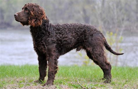 american water spaniel puppies american water spaniel information temperament puppies pictures