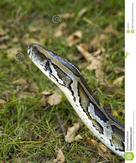python heat l burmese python stock images image 482254