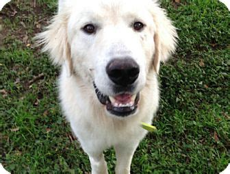 pyrenees golden retriever mix sig adopted tx great pyrenees golden retriever mix