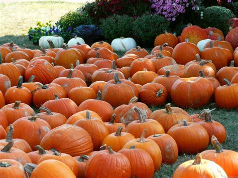 photos pumpkins mlewallpapers pumpkins and mums